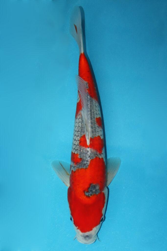 Goshiki, ID 6